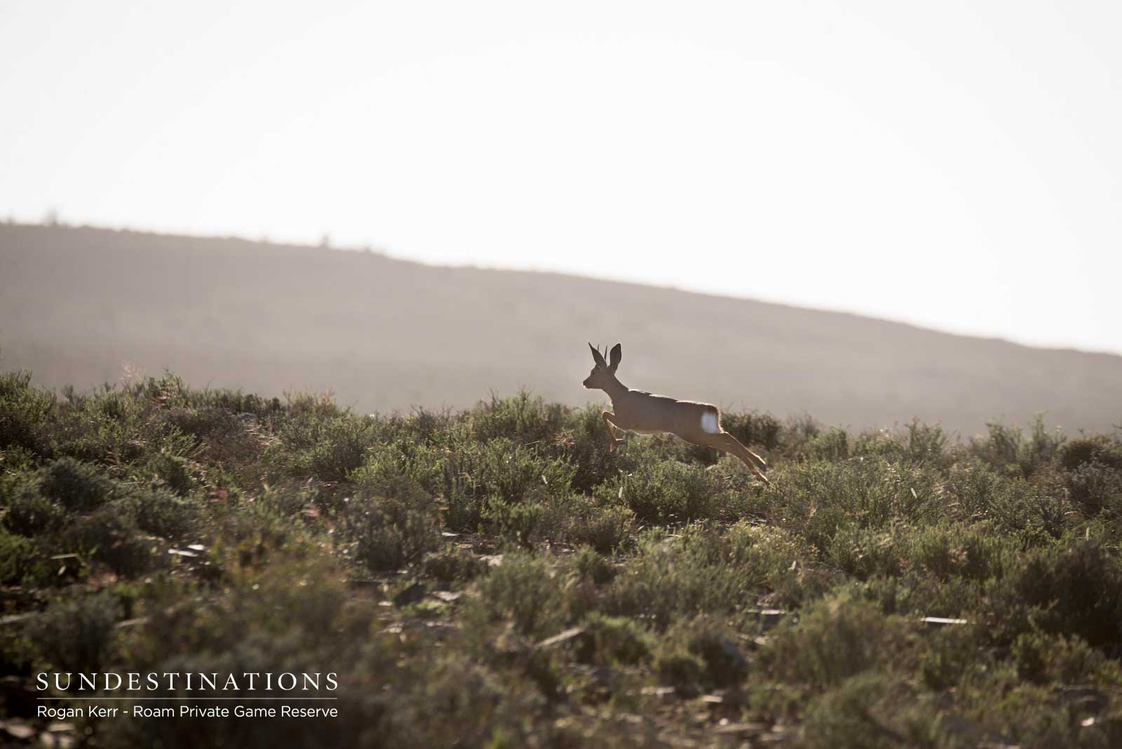 Steenbok in Great Karoo