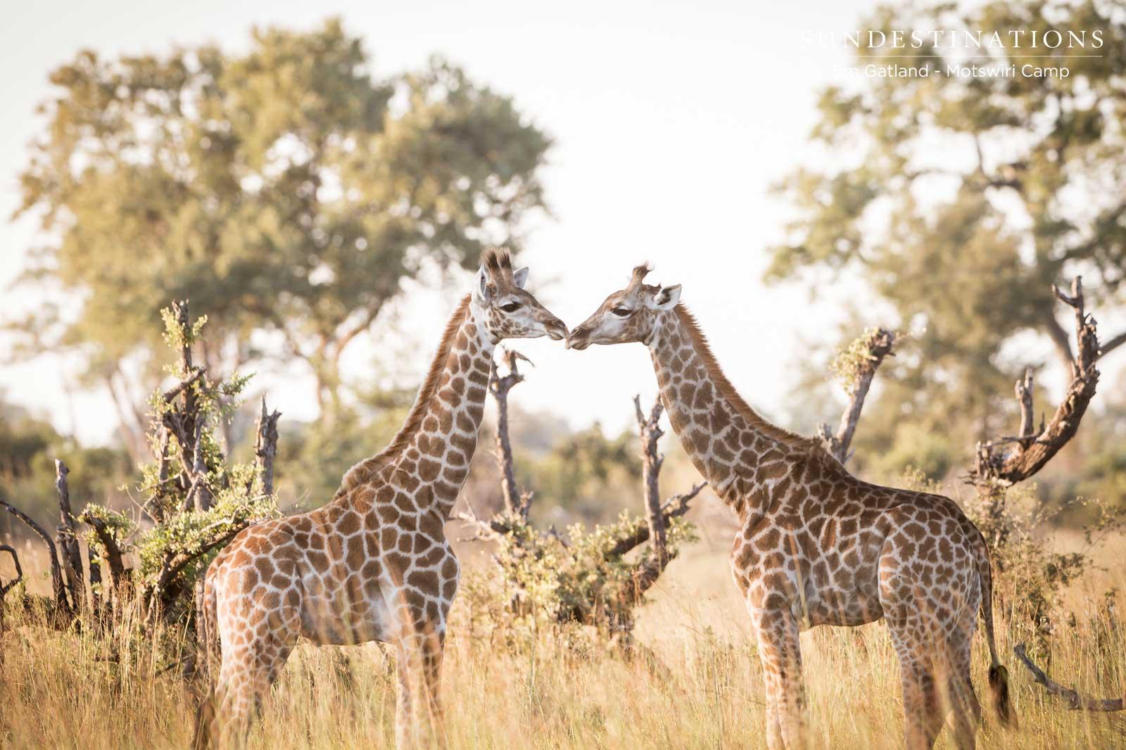 Giraffe Love Motswiri Camp