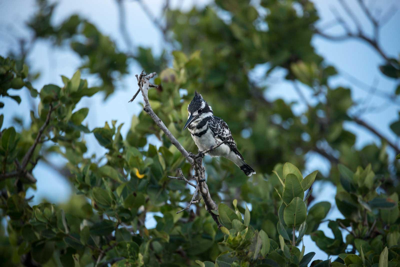 Pied Kingfisher Botswana