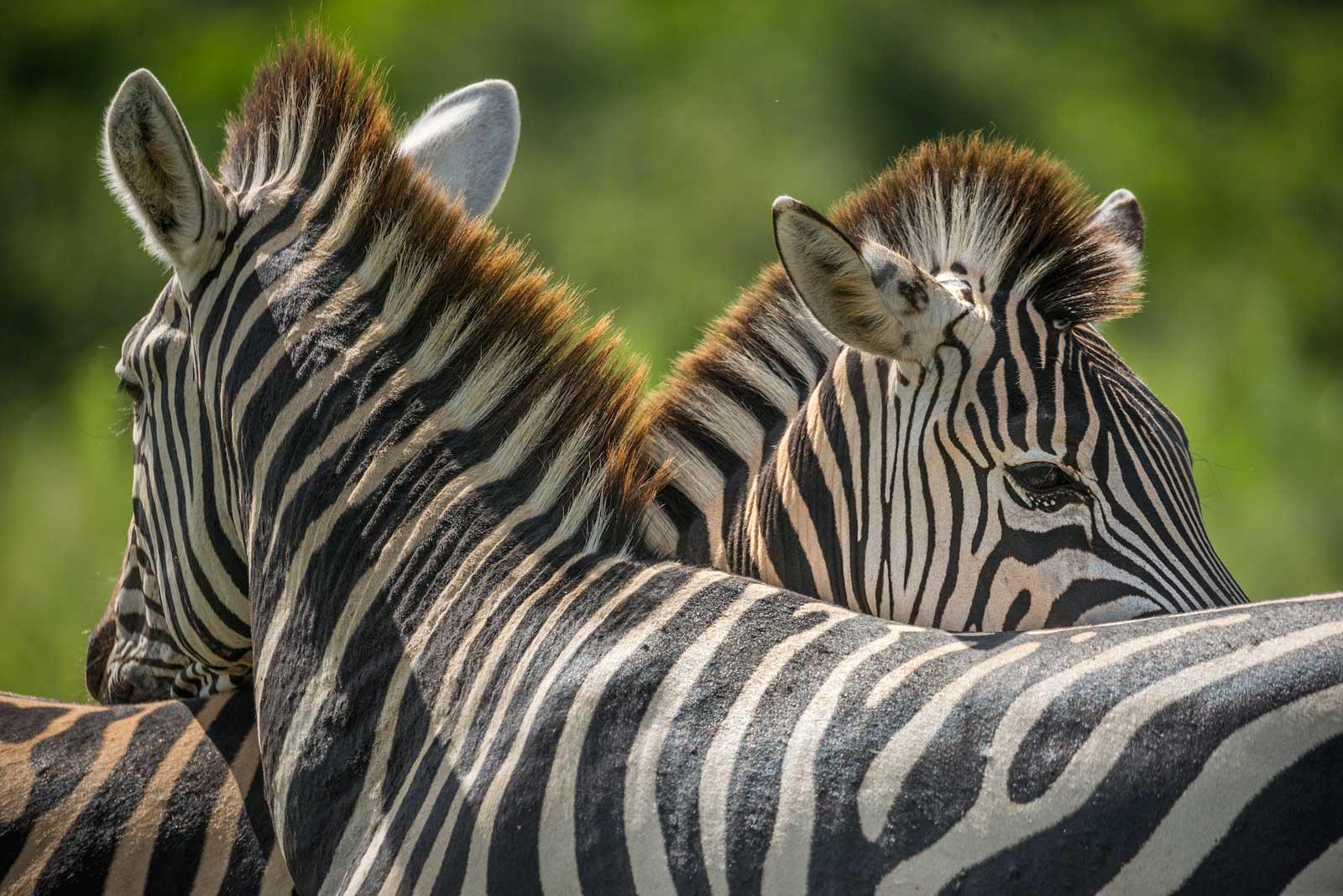 Zebra at RAW Botswana