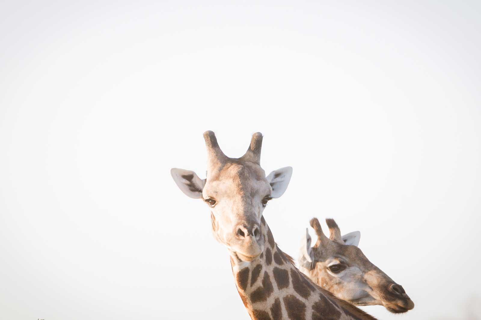 Giraffe at RAW Botswana, Motswiri Camp
