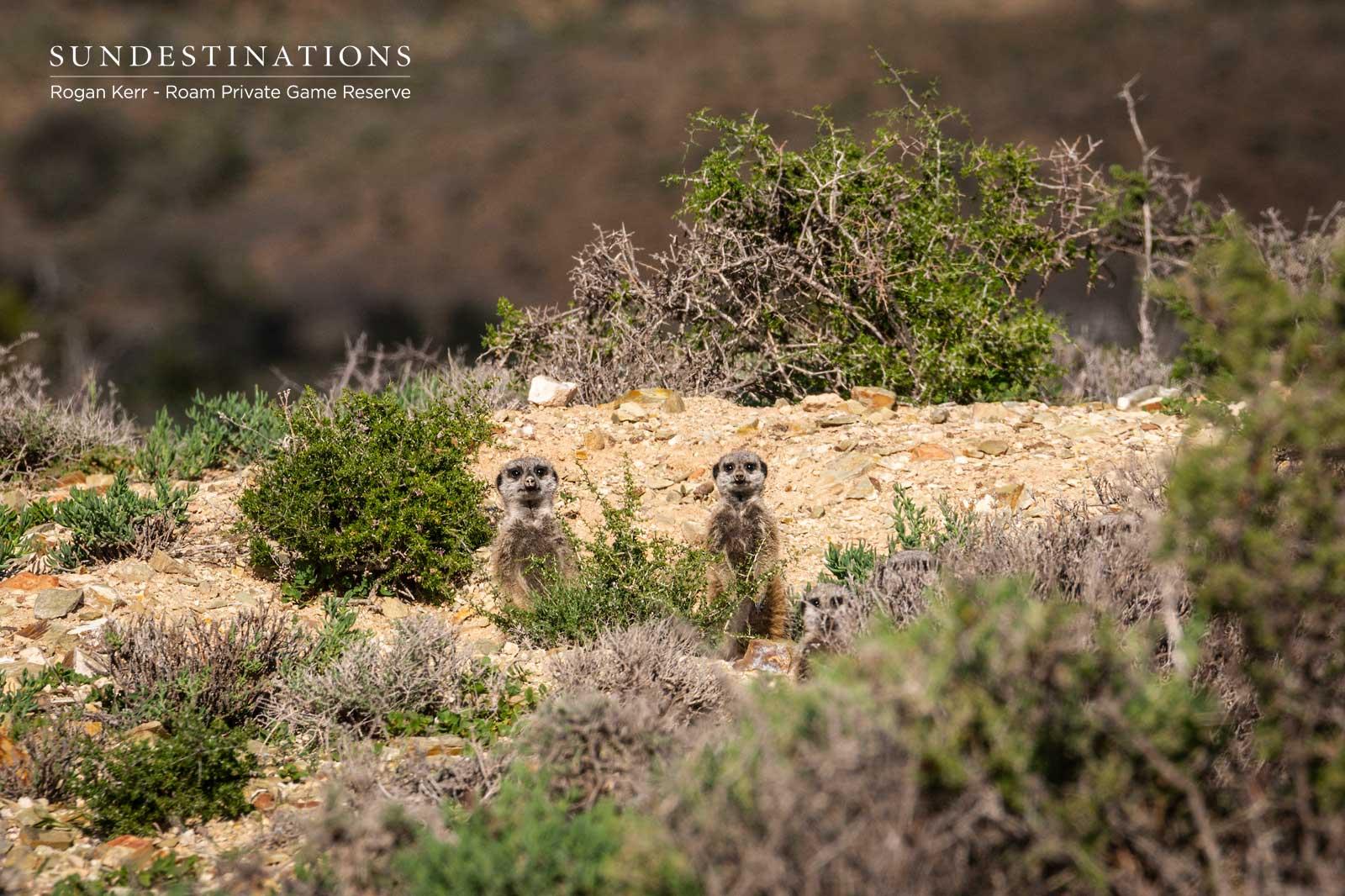 Roam Private Game Reserve Meerkats
