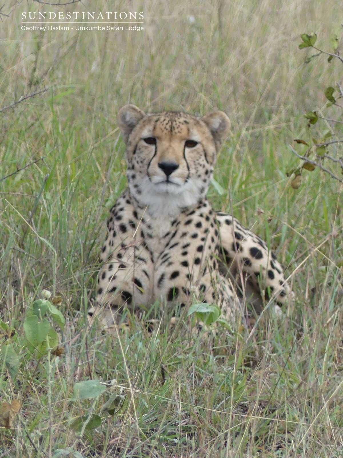 Umkumbe Cheetah