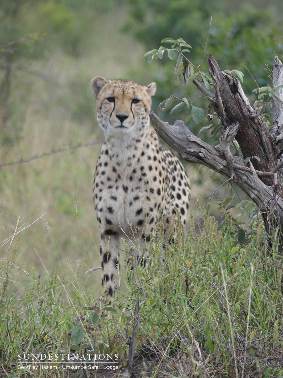 Umkumbe Cheetah Sighting