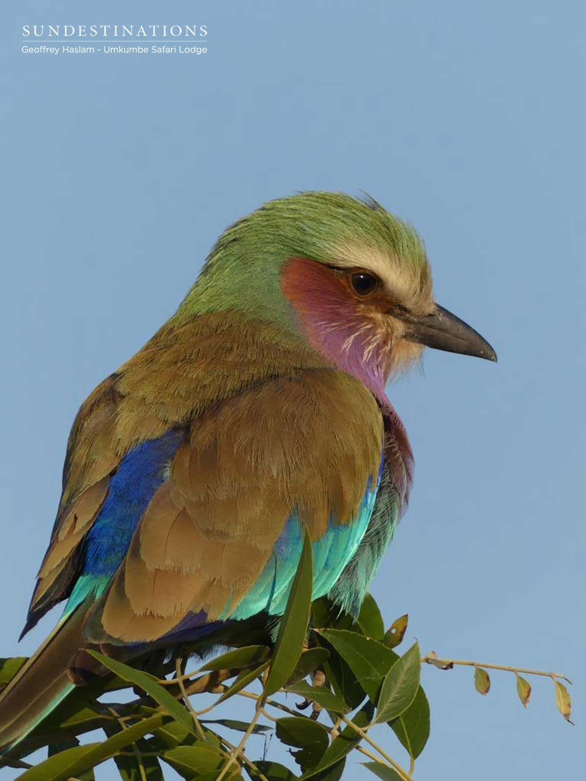 Lilac-breasted Roller Umkumbe