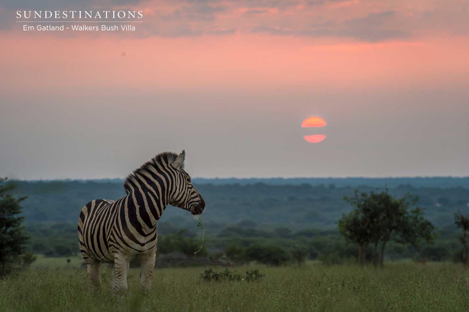 Zebra in the Timbavati