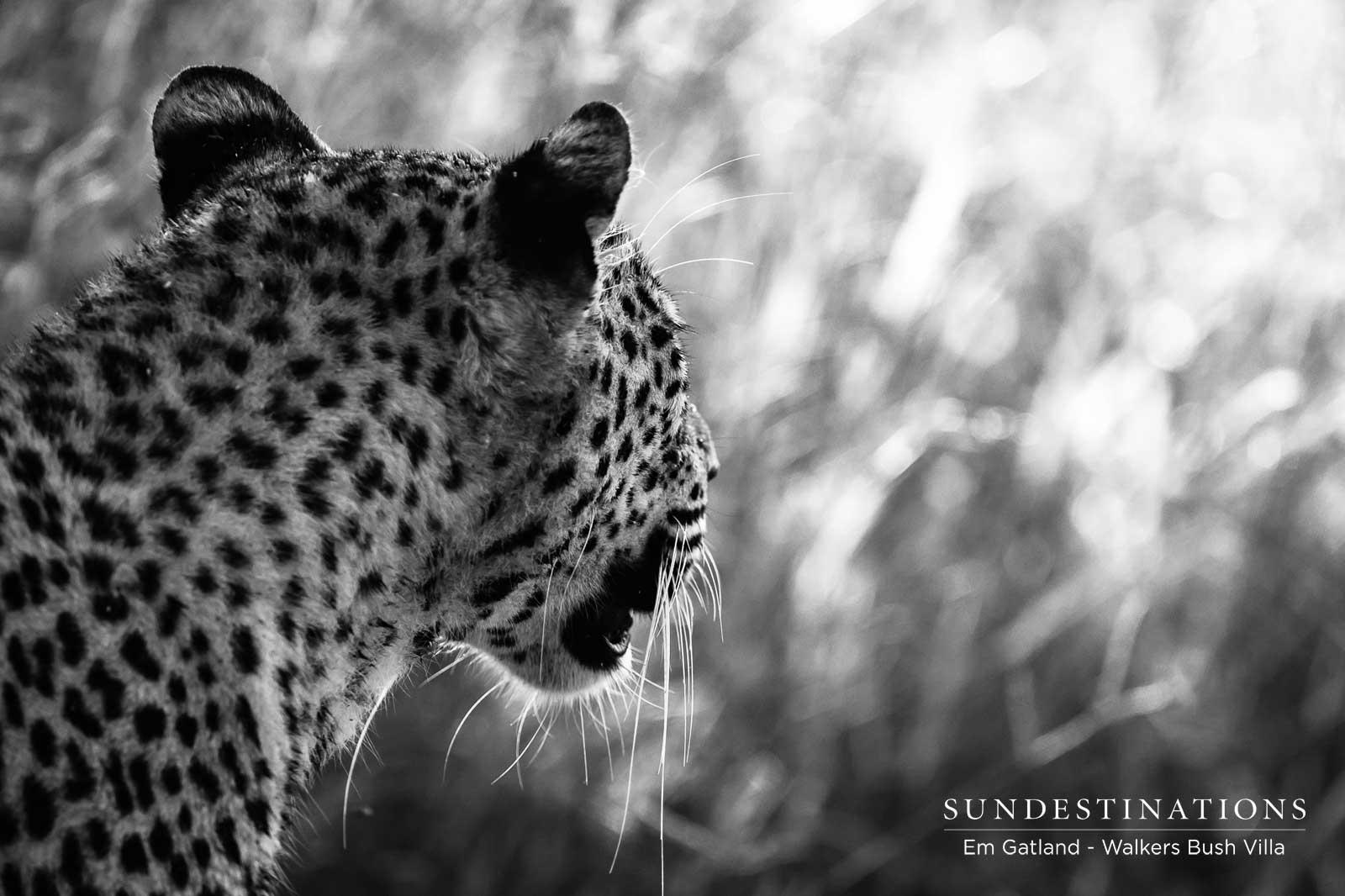 Sunset Dam Leopardess in Timbavati