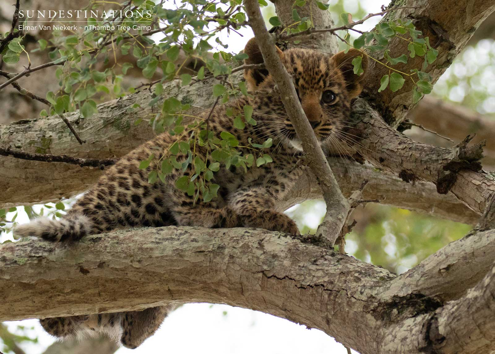 nThambo Tree Camp Leopard Cub
