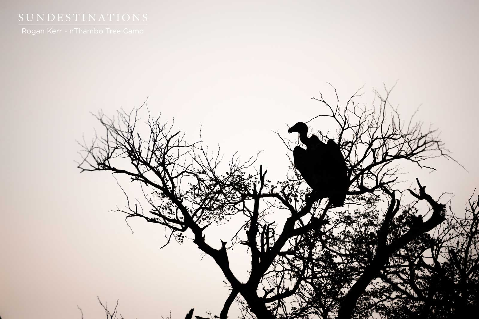 nThambo Tree Camp Vulture