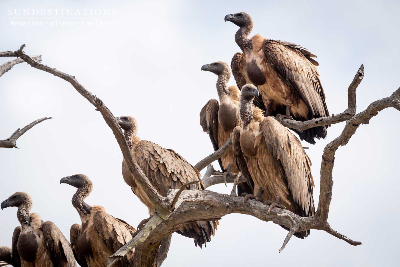 White-backed Vultures Klaserie
