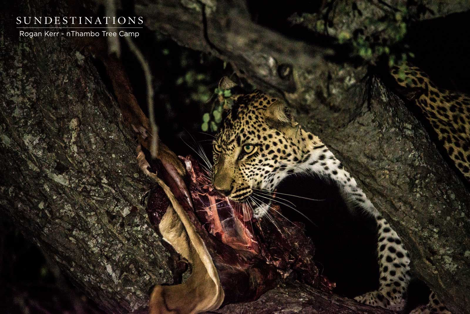 Mother's Day Mayhem : 3 Related Leopards Feast off Same Meal