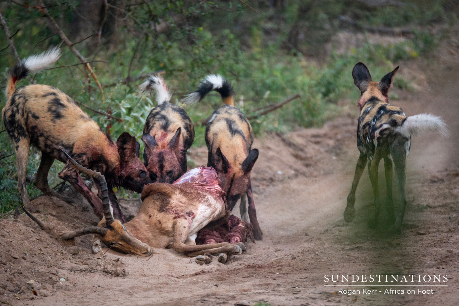 Wild Dogs on Kill with Africa on Foot