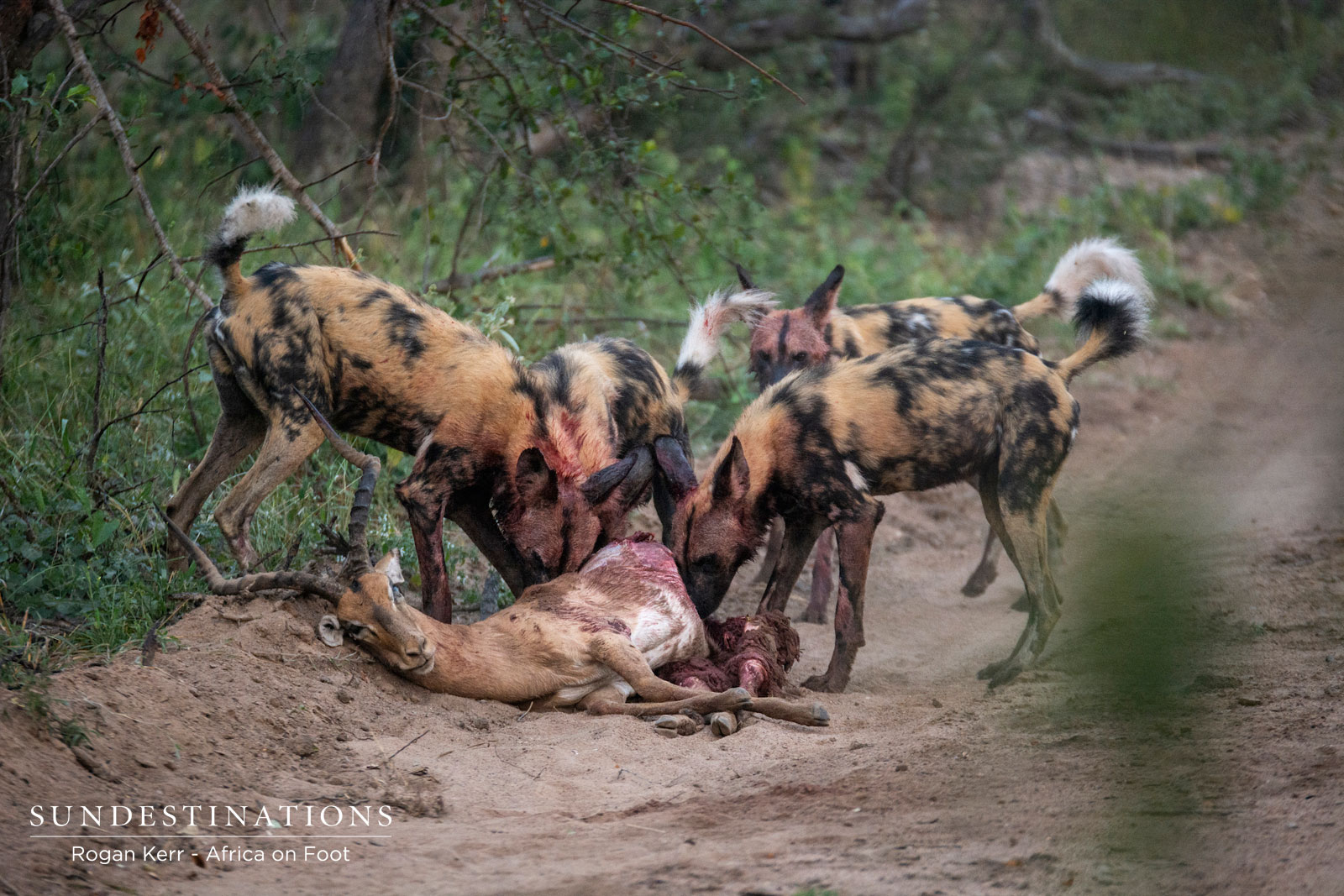 Wild Dogs on Impala Kill