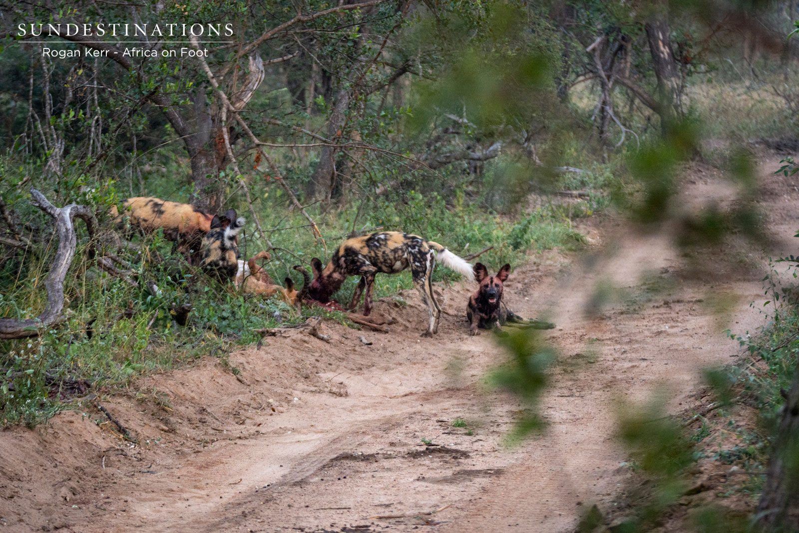 Wild Dogs in Road on Kill