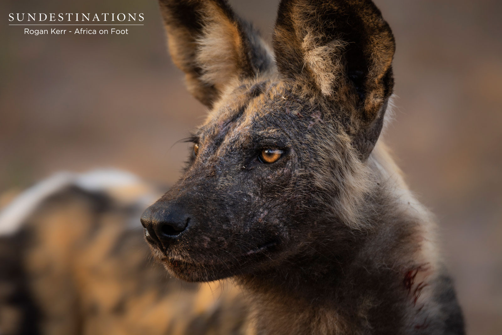 Wild Dogs in Klaserie