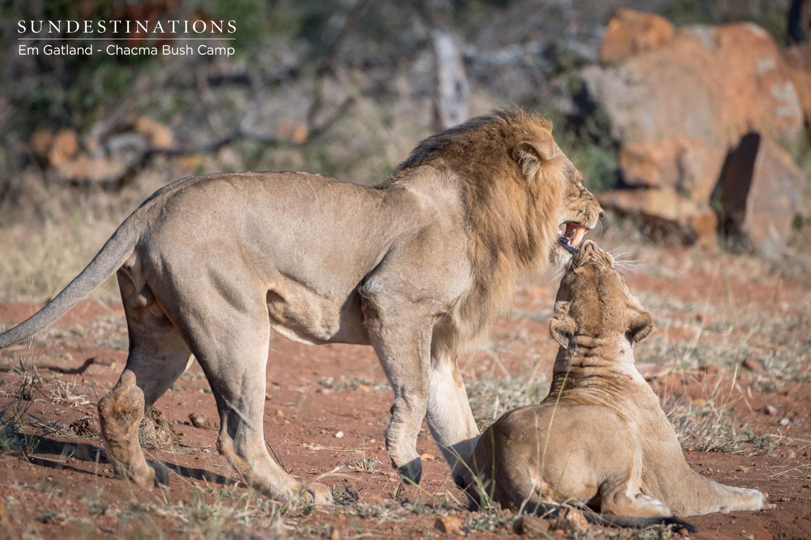 Maseke Male Lion with Lamai Female