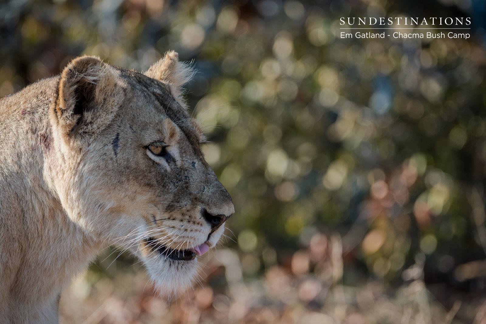 Lamai Lioness in Maseke