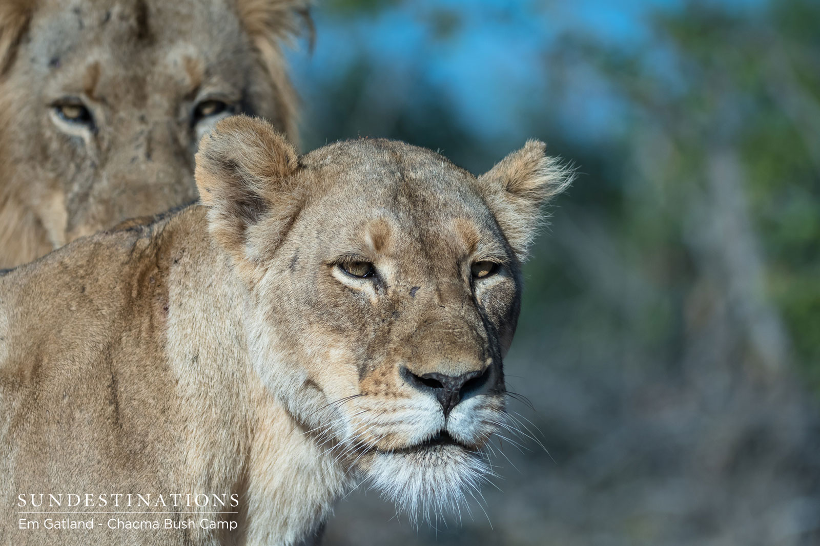 Lions Mating in the Maseke Game Reserve