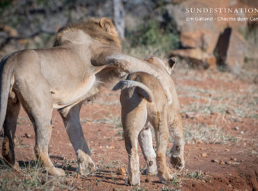 The Maseke Game Reserve has been the star of the show when it comes to lion sightings, and it's about time we furnished you with a lion pride update. A while ago we introduced you to the burly Maseke 6 coalition and a small pride consisting of a lone female and 3 cubs. The Maseke […]