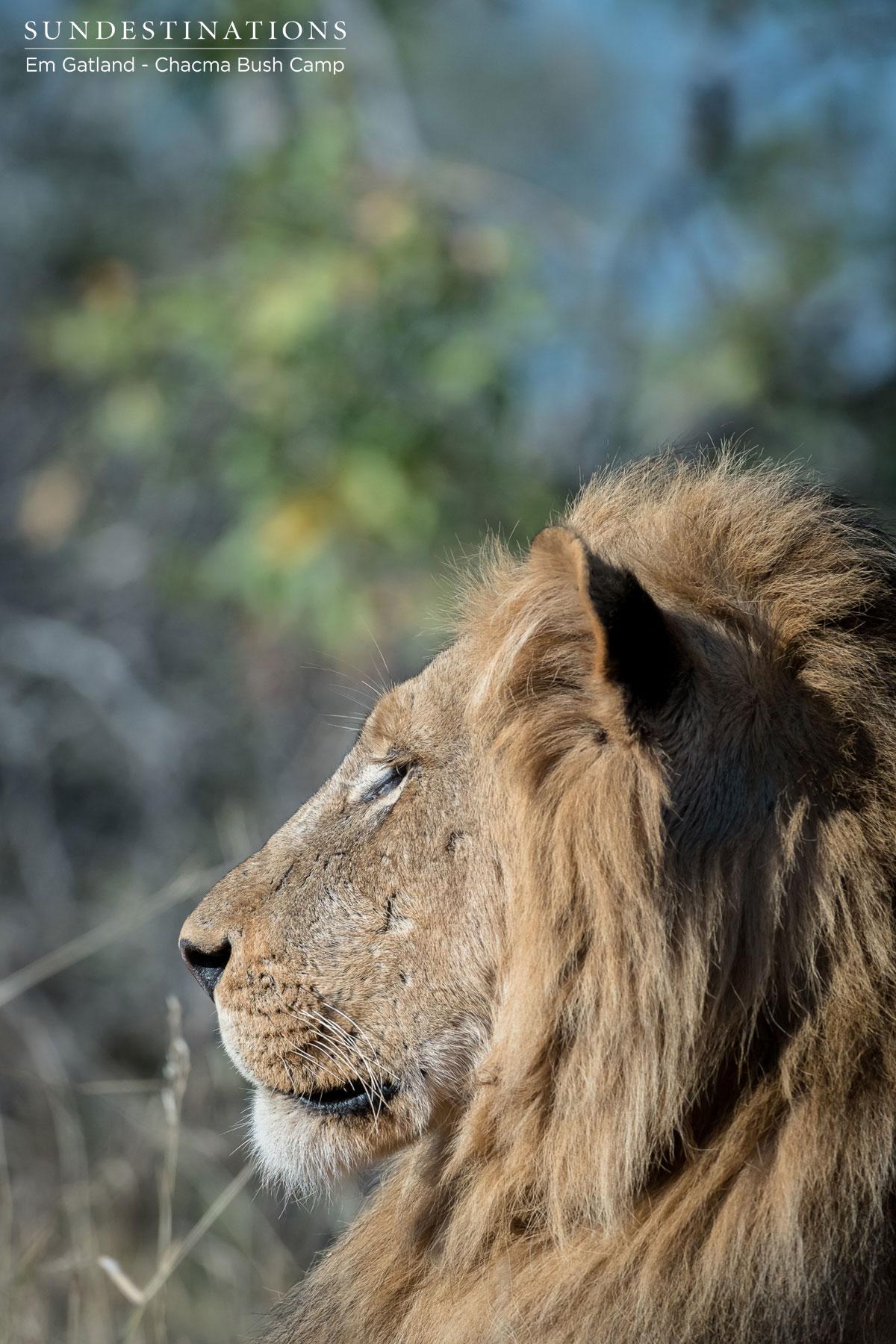 Chacma Male Lion Mane