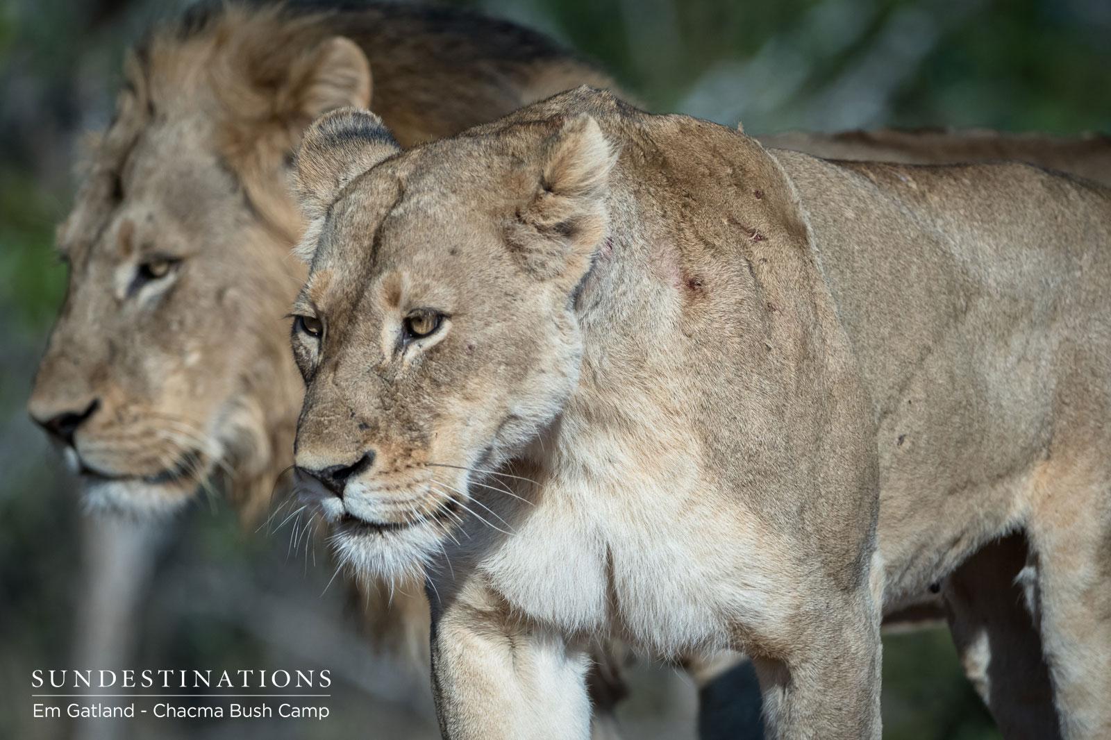 Chacma Maseke Lions