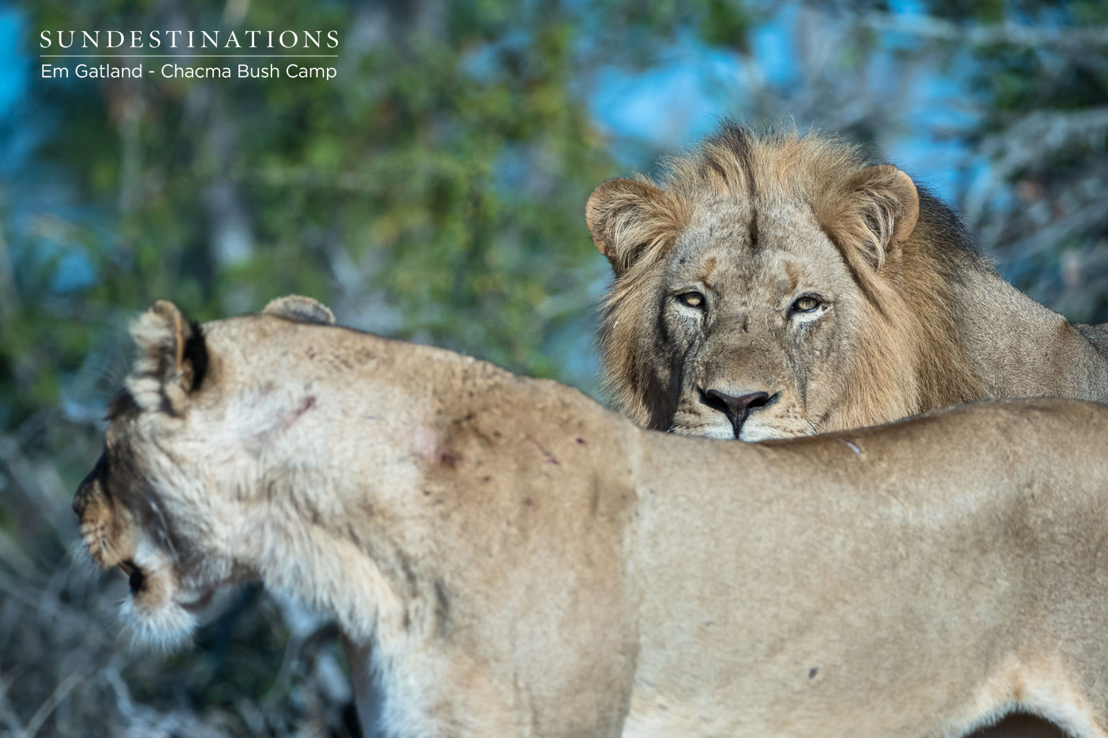 Maseke Male Lion and Lamai Female Enjoy a Tryst in the 'Veld