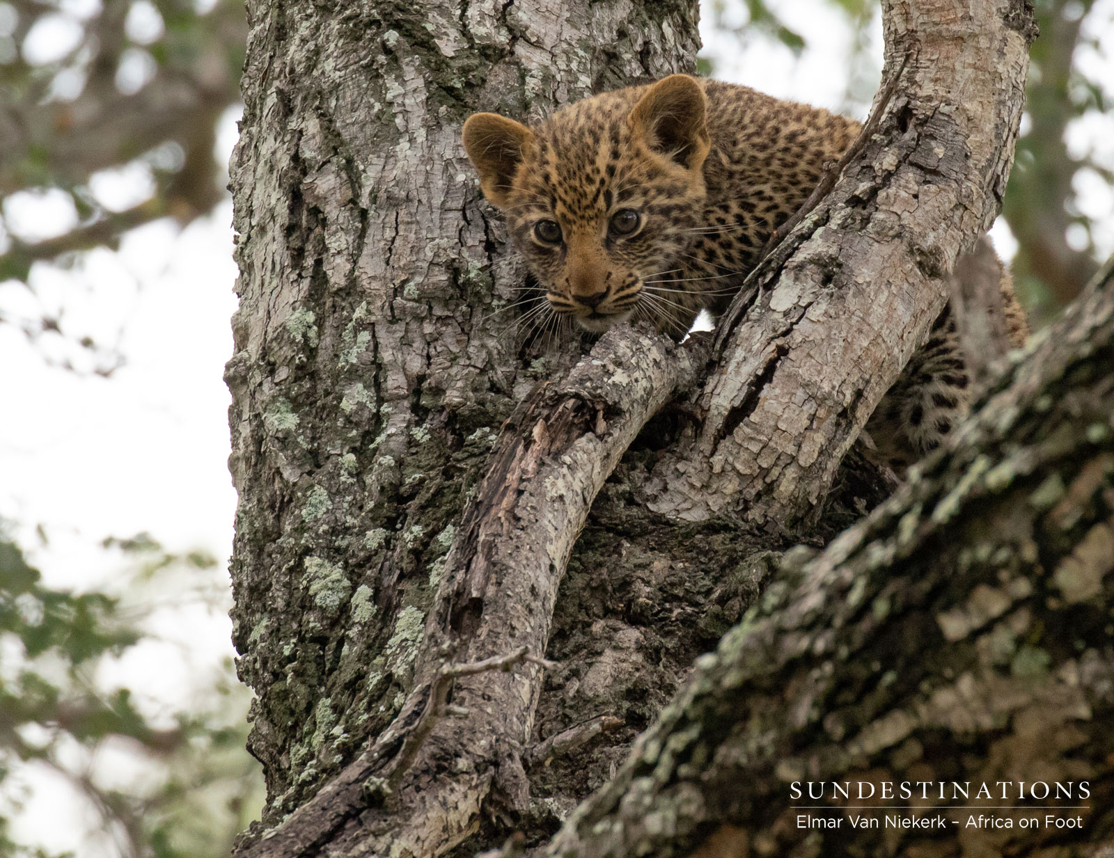 Leopard Cubs Africa on Foot