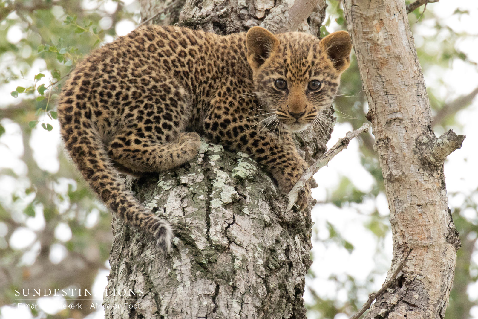 Cute Leopard Cubs in the Klaserie Private Nature Reserve