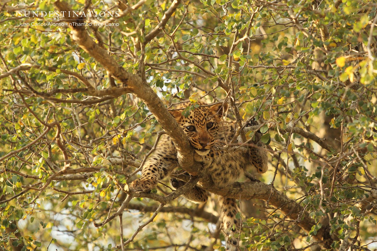 Leopard Cubs in Klaserie