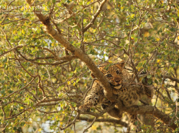 """Despite being aloof and independent cats, leopards actually make excellent mothers. These muscle-bound felines lead a notoriously solitary lifestyle where it's """"each man for himself"""". Leopards aren't pride orientated and are rarely seen keeping company with other leopards. We only see leopards together during periods of mating or when mothers are rearing their young. Just […]"""
