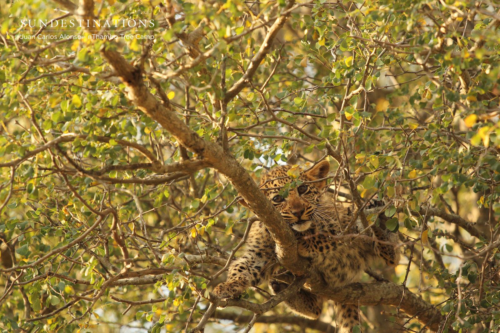 Ross Dam's Leopard Cub in Tree