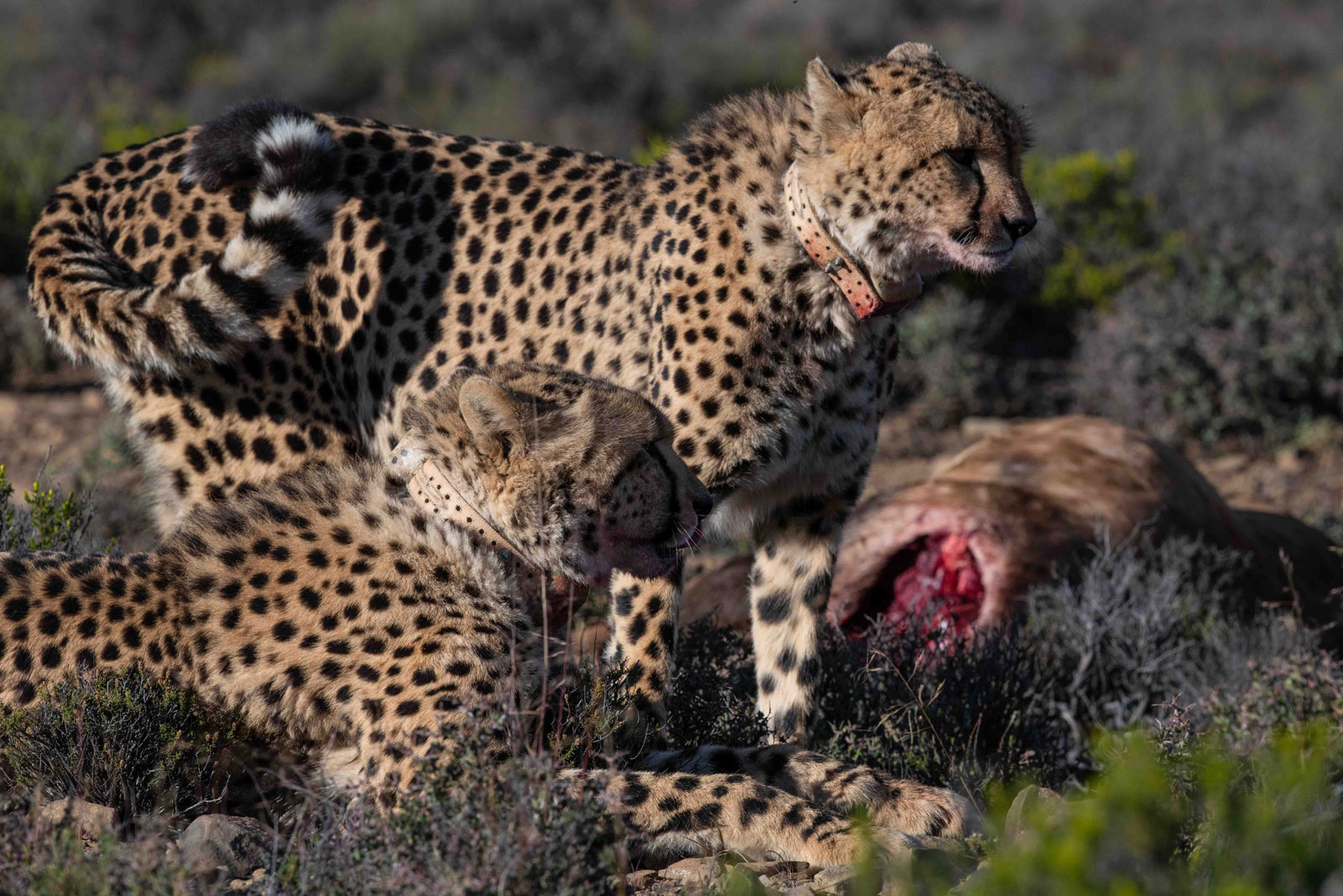 Cheetah at Roam Private Game Reserve Conduct Their First Kill in the Karoo