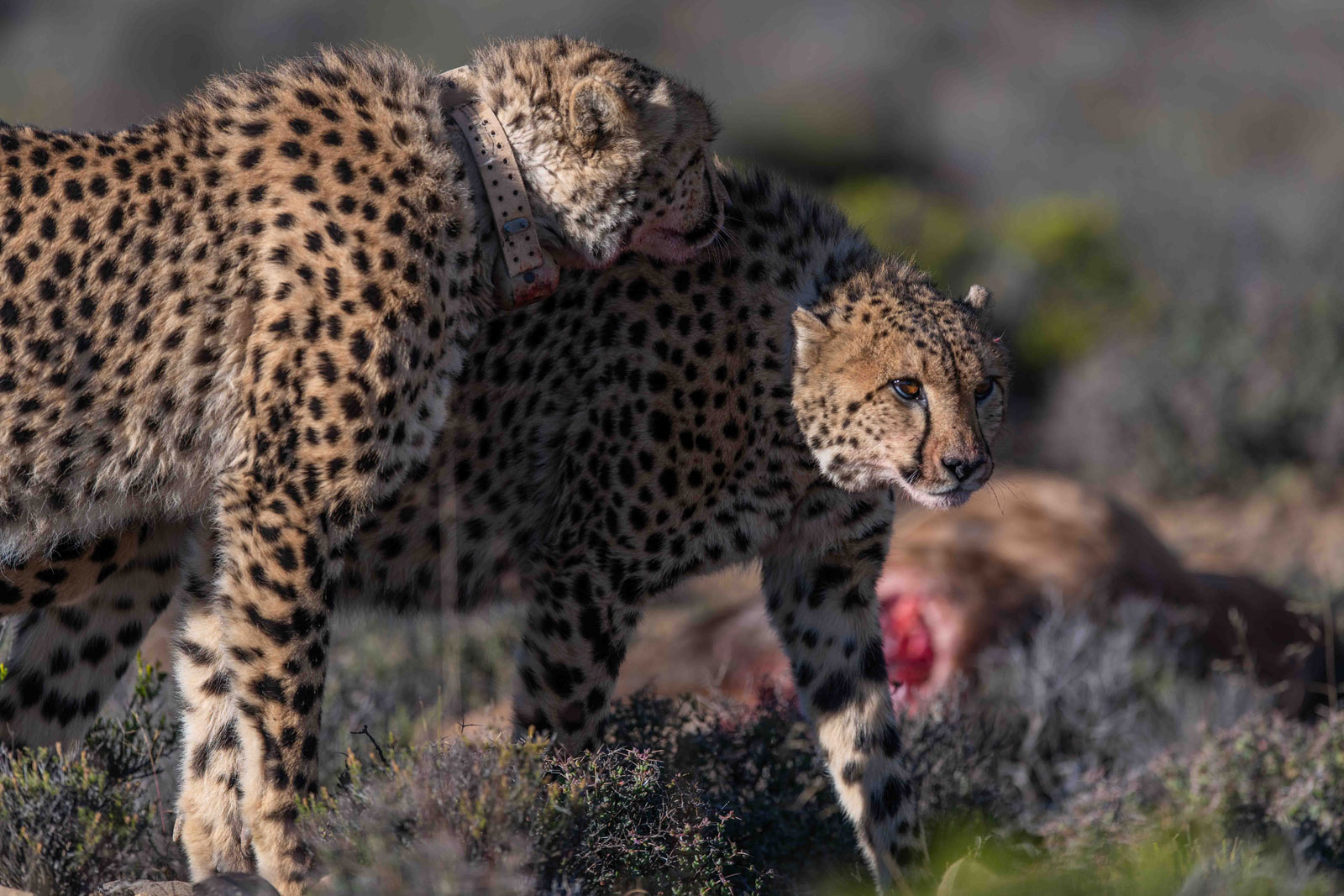 Cheetah's on Kill in Great Karoo