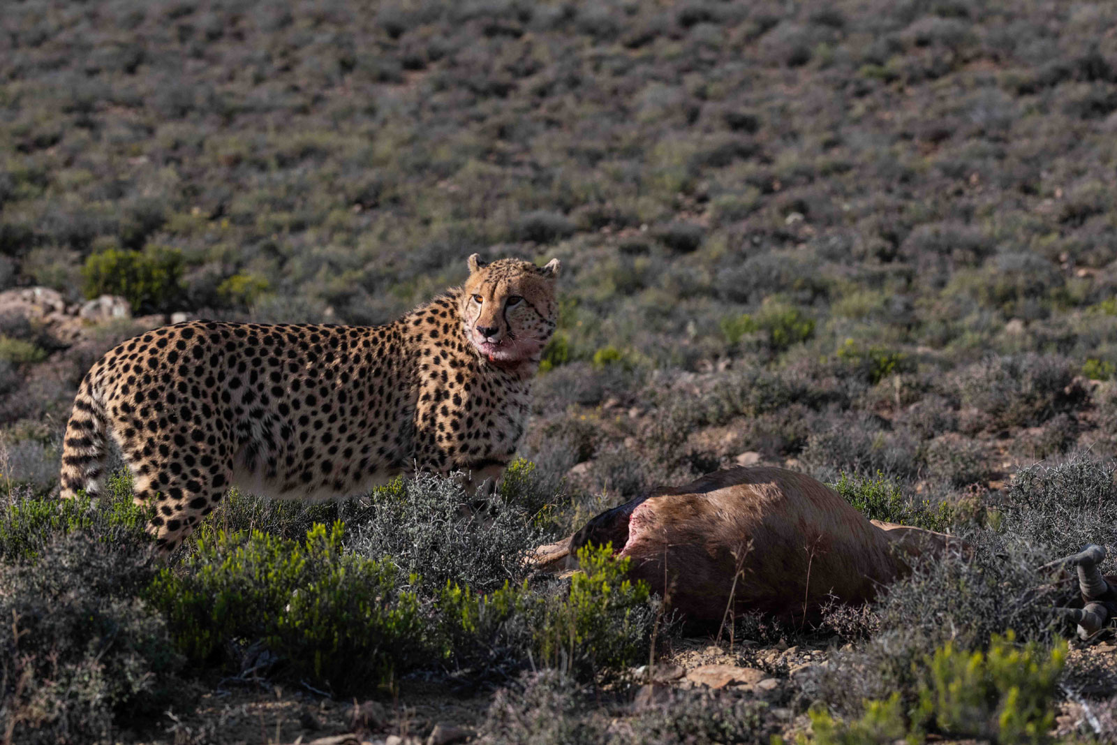 Cheetahs on a Kill in the Great Karoo