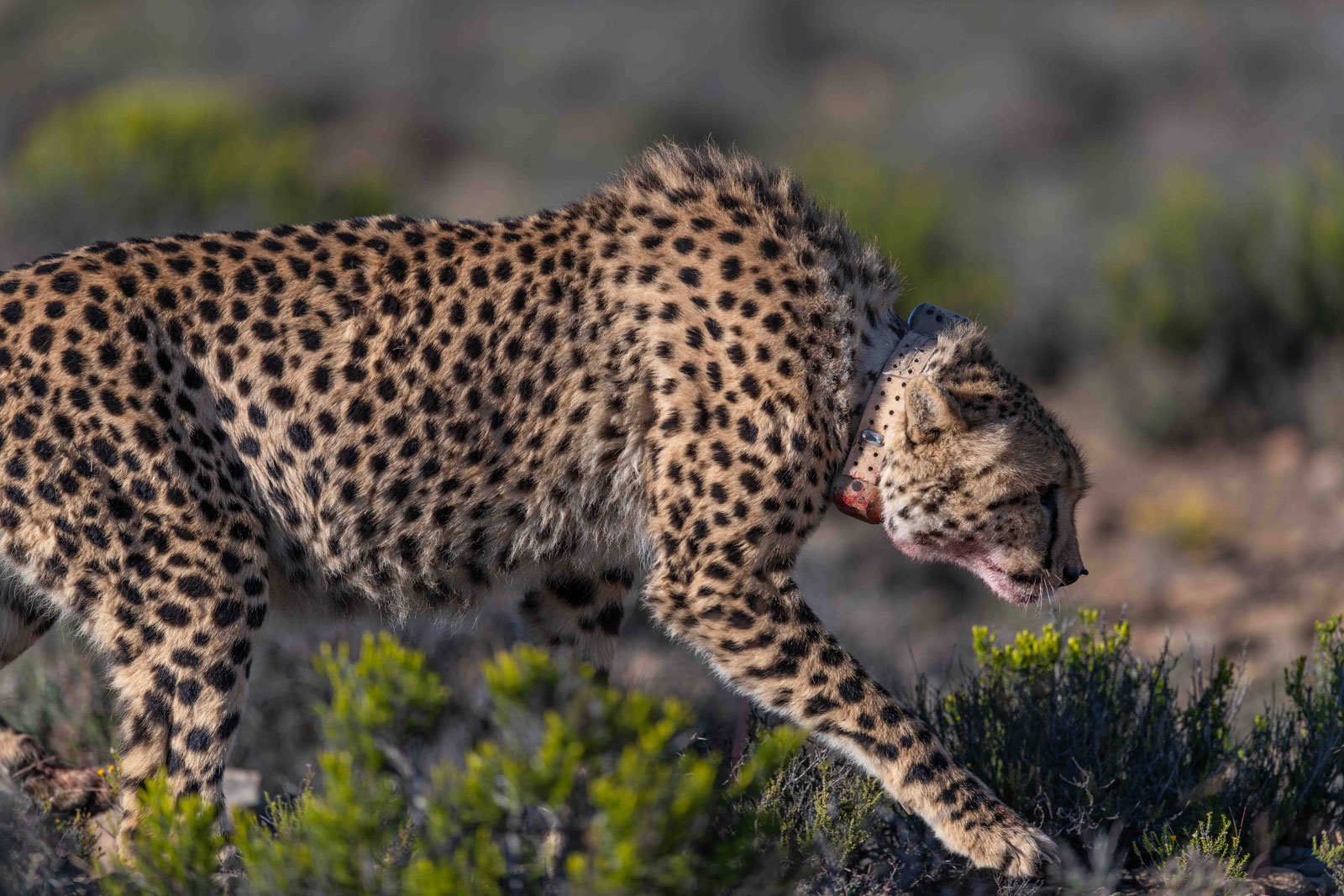 Lone Cheetah at Roam Private Game Reserve