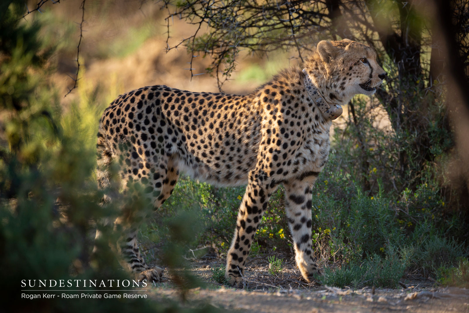 Cheetah at Roam Private Game Reserve