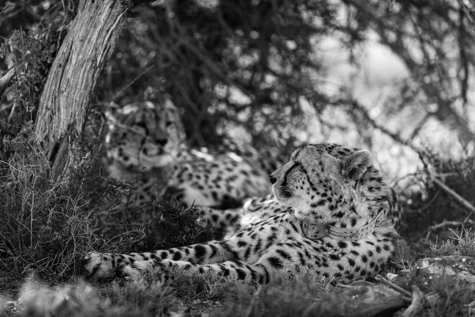 Cheetah Relaxing at Roam