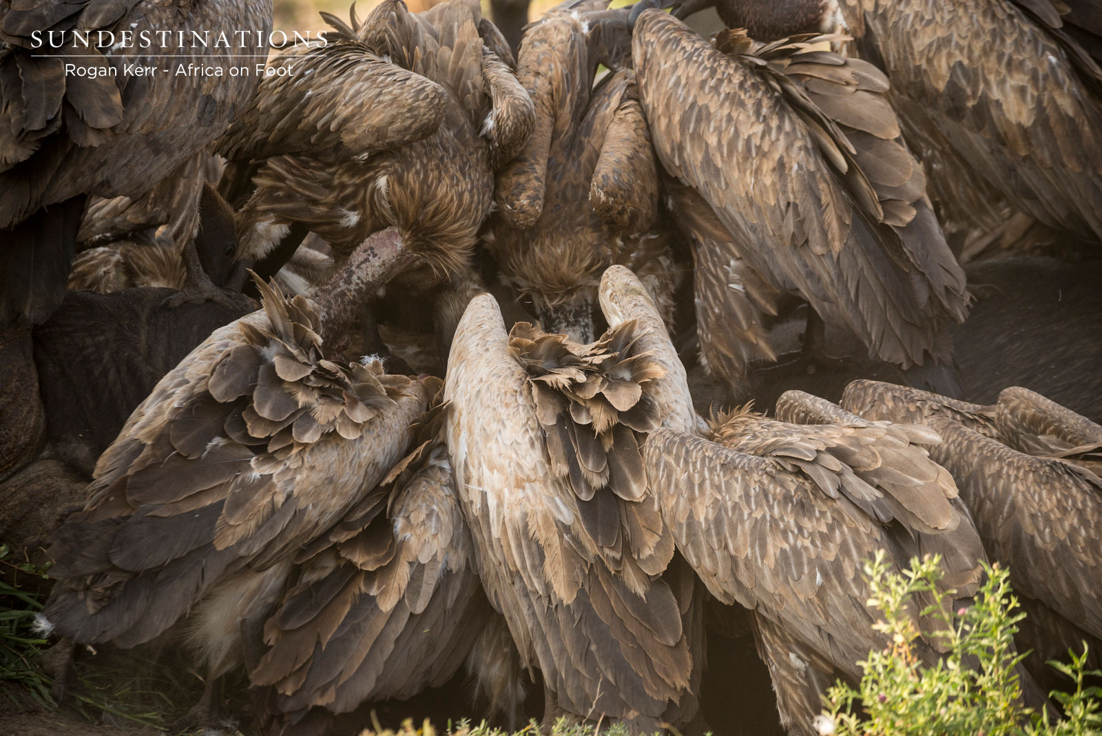 Africa on Foot White-backed Vultures