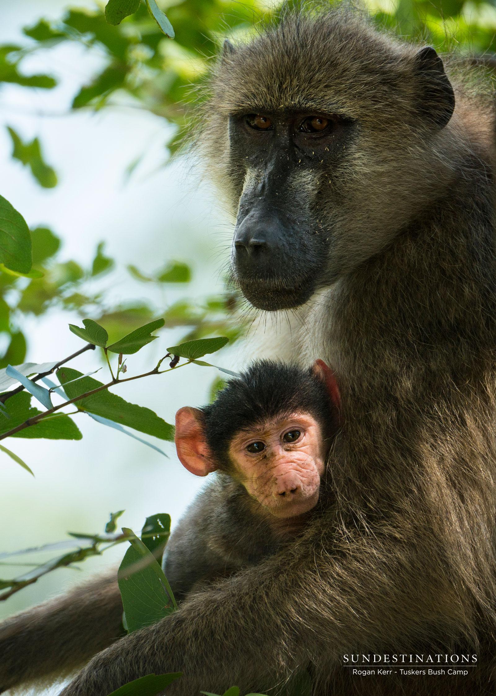 Chacma Baboons at Tuskers Bush Camp
