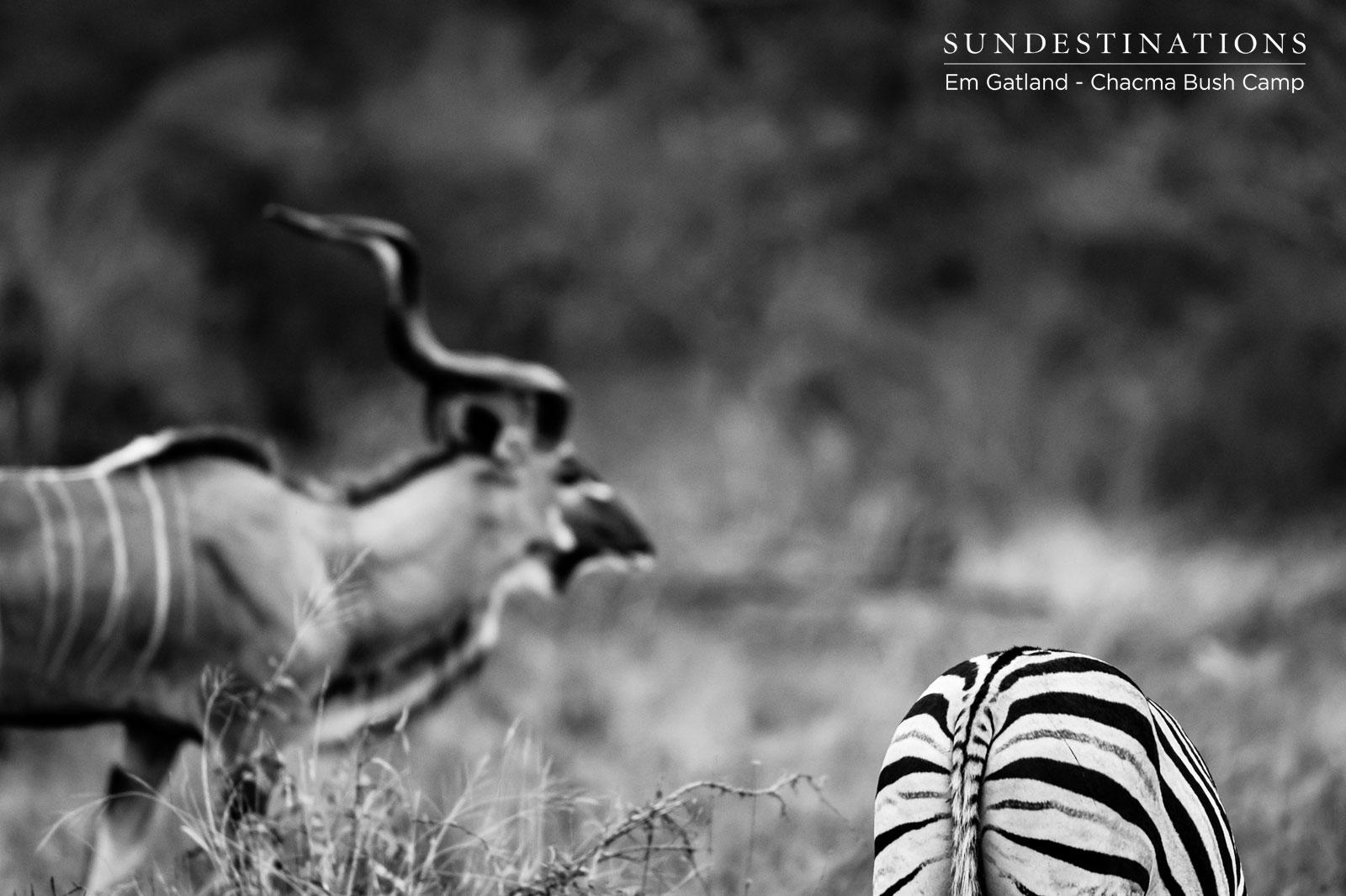 Kudu and Zebra in Maseke