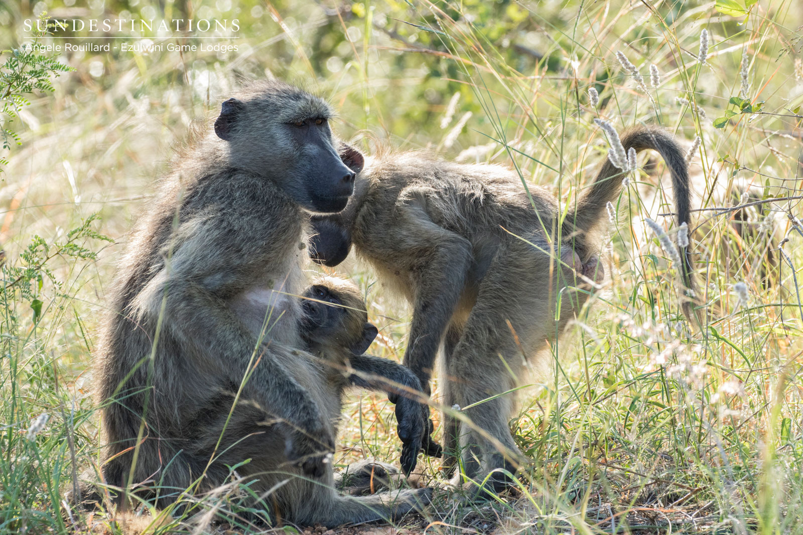 Baboons in Balule