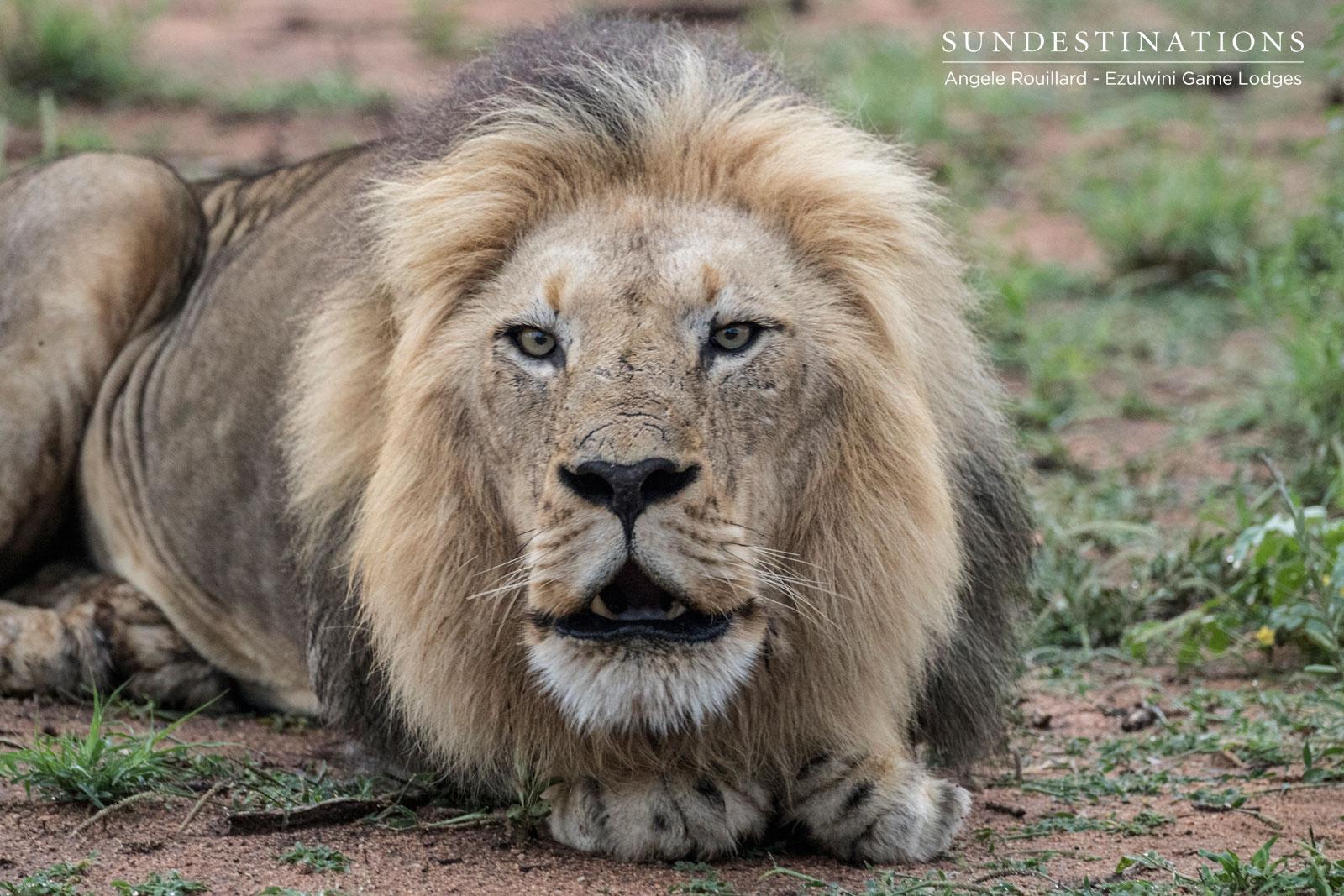 Machaton Male Lions
