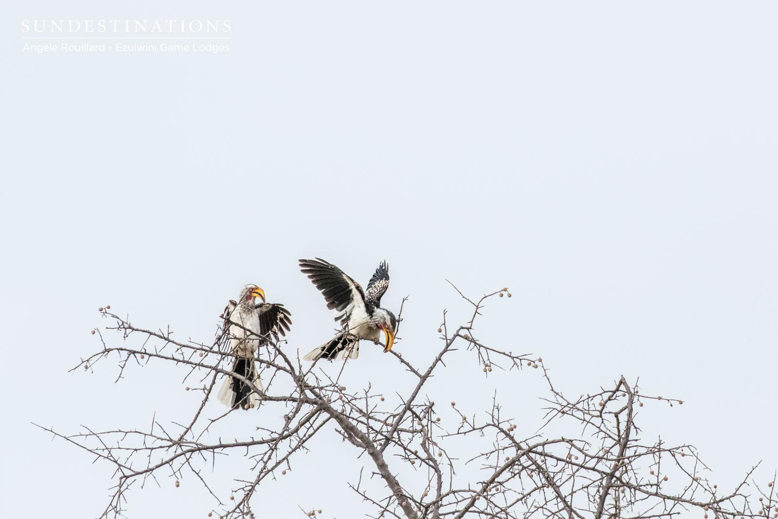 Ezulwini Hornbills