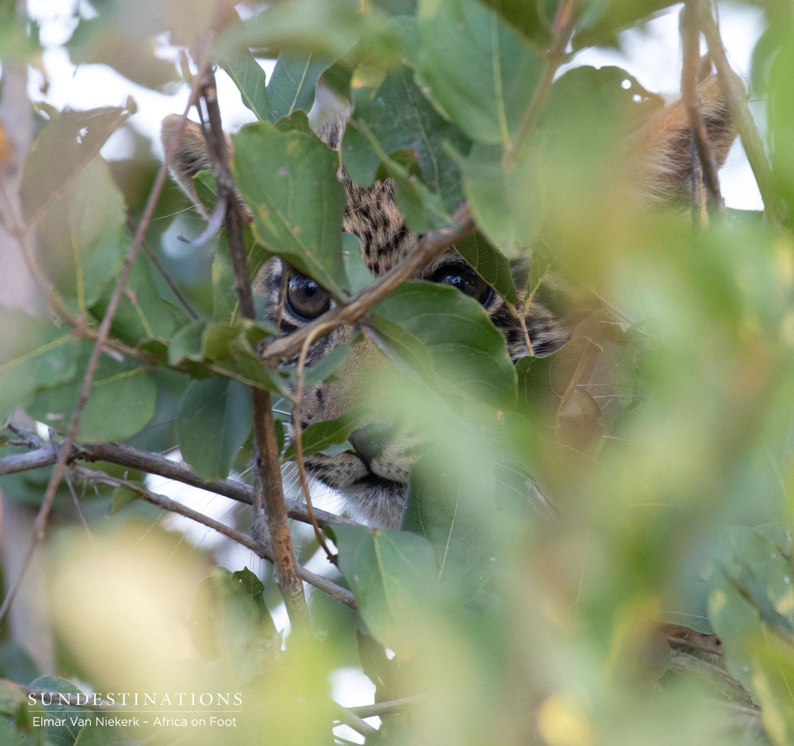 Leopard Cub in the Klaserie