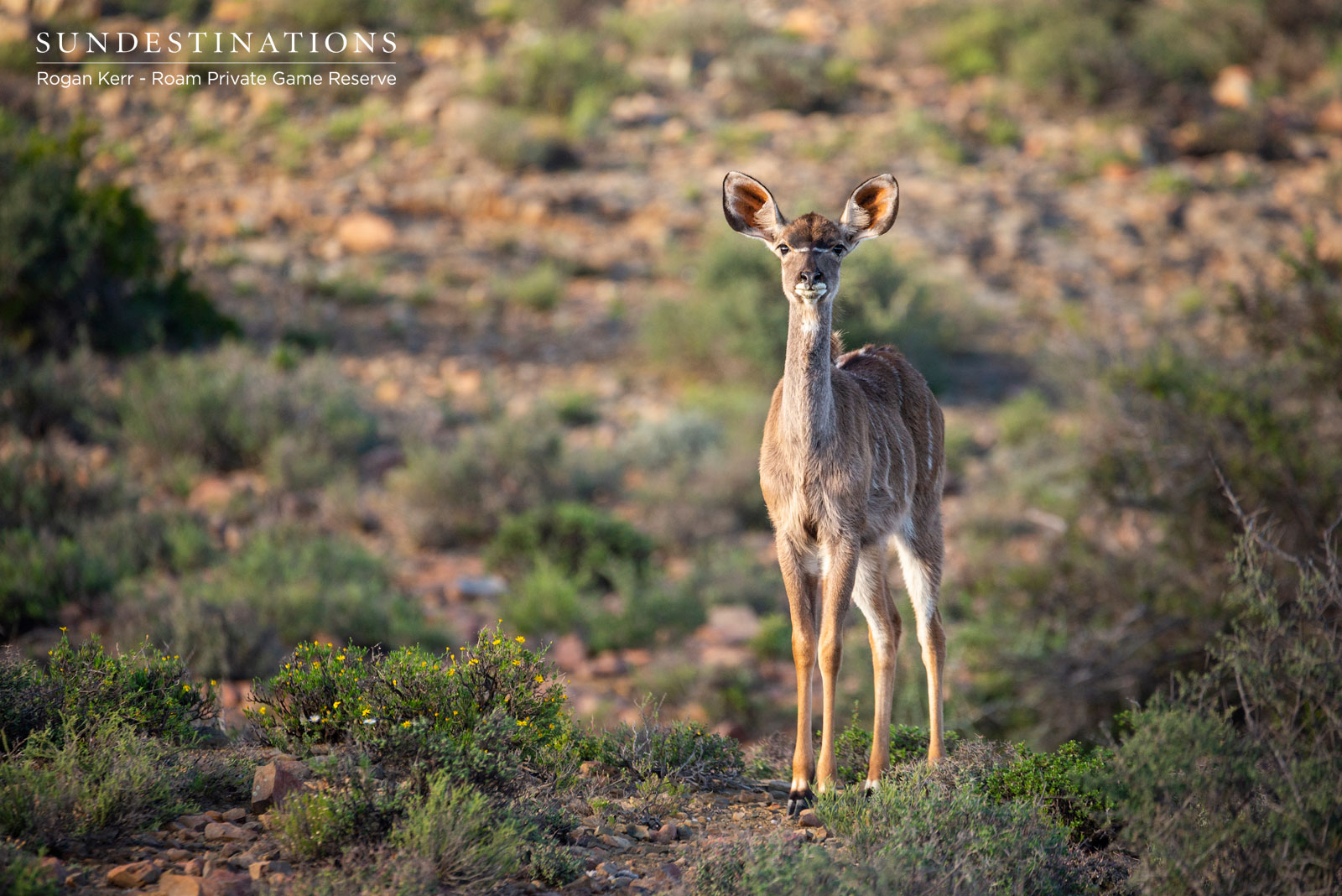 Kudu at Roam Private Game Reserve