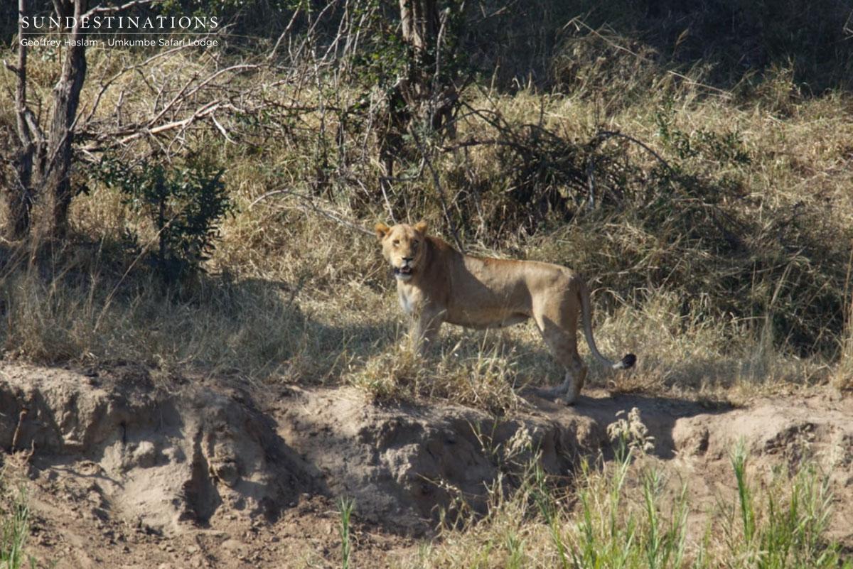 Umkumbe Lions