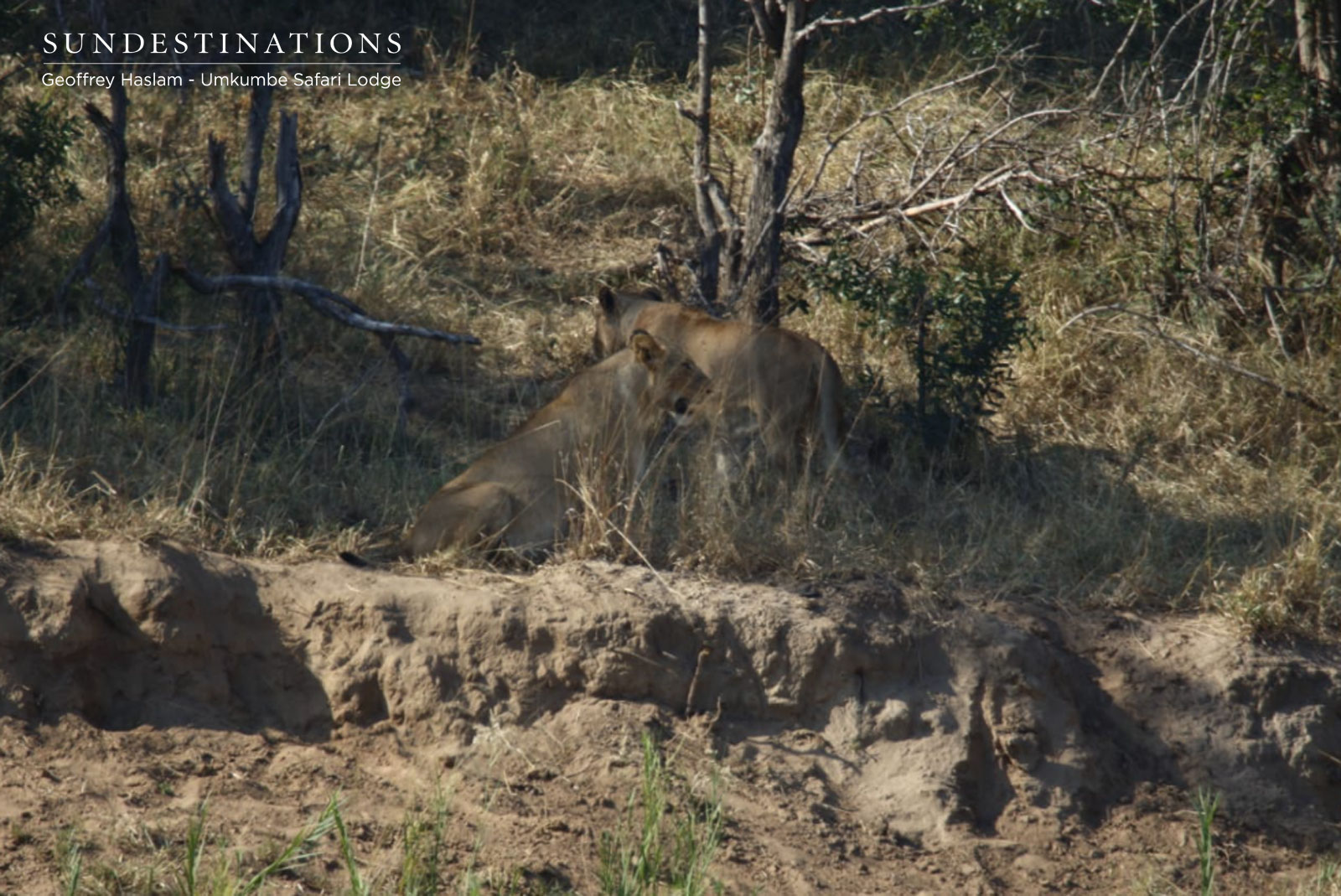 Lions of Umkumbe