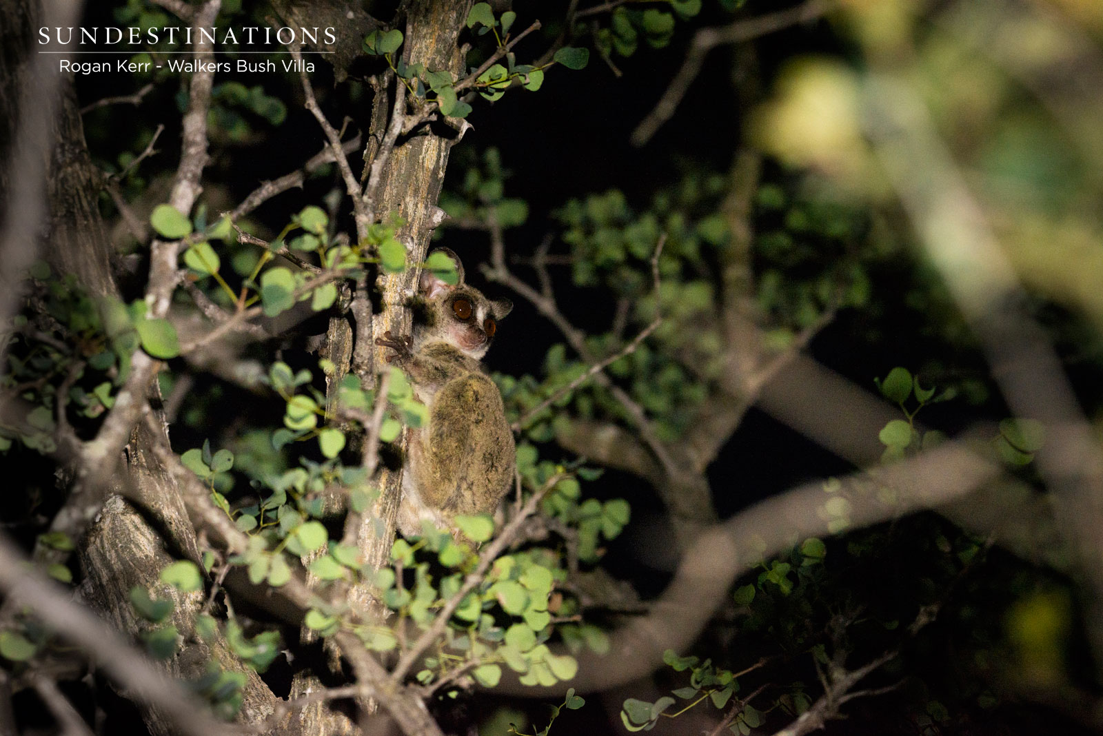Walkers Bush Baby Timbavati