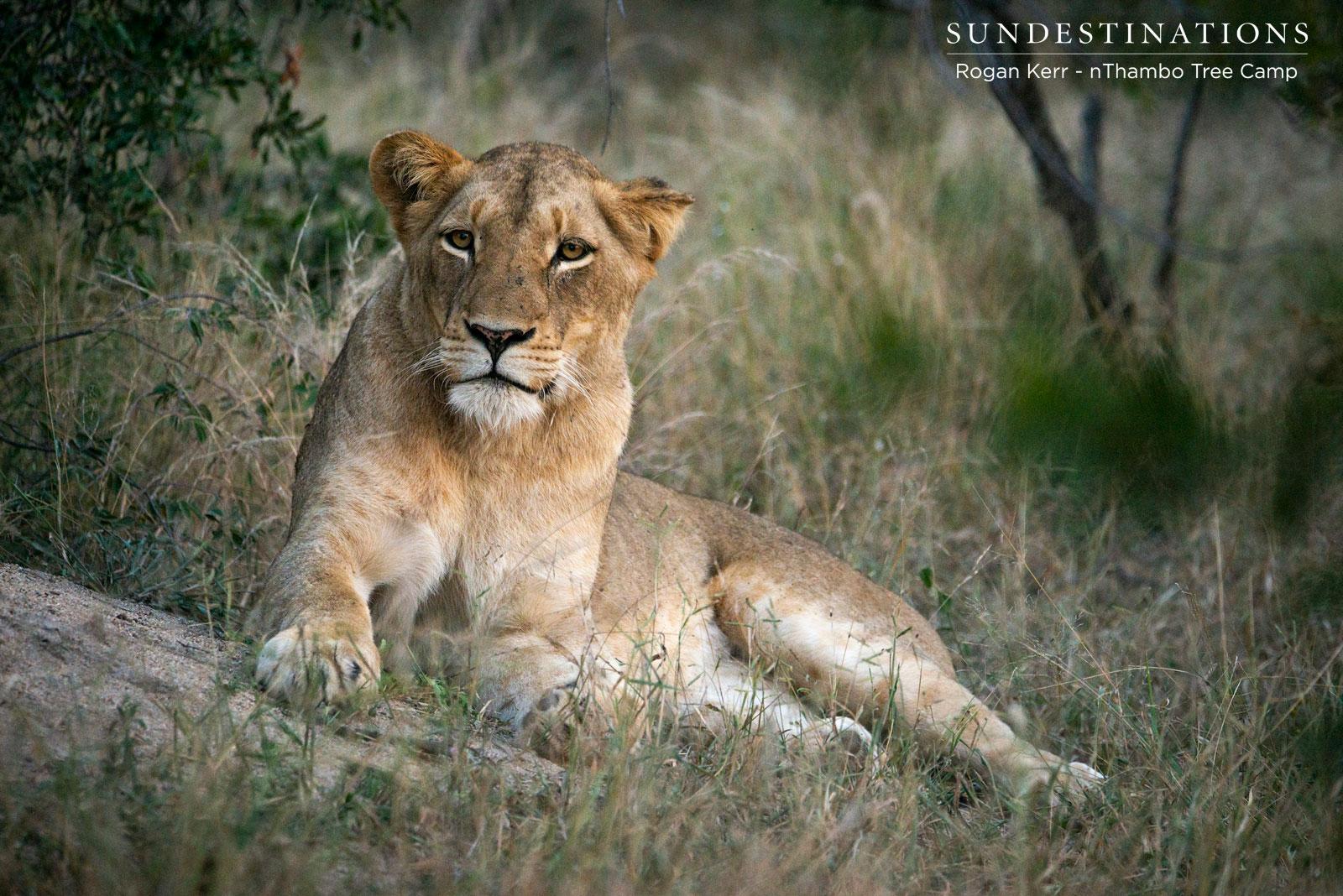 Hercules Lioness