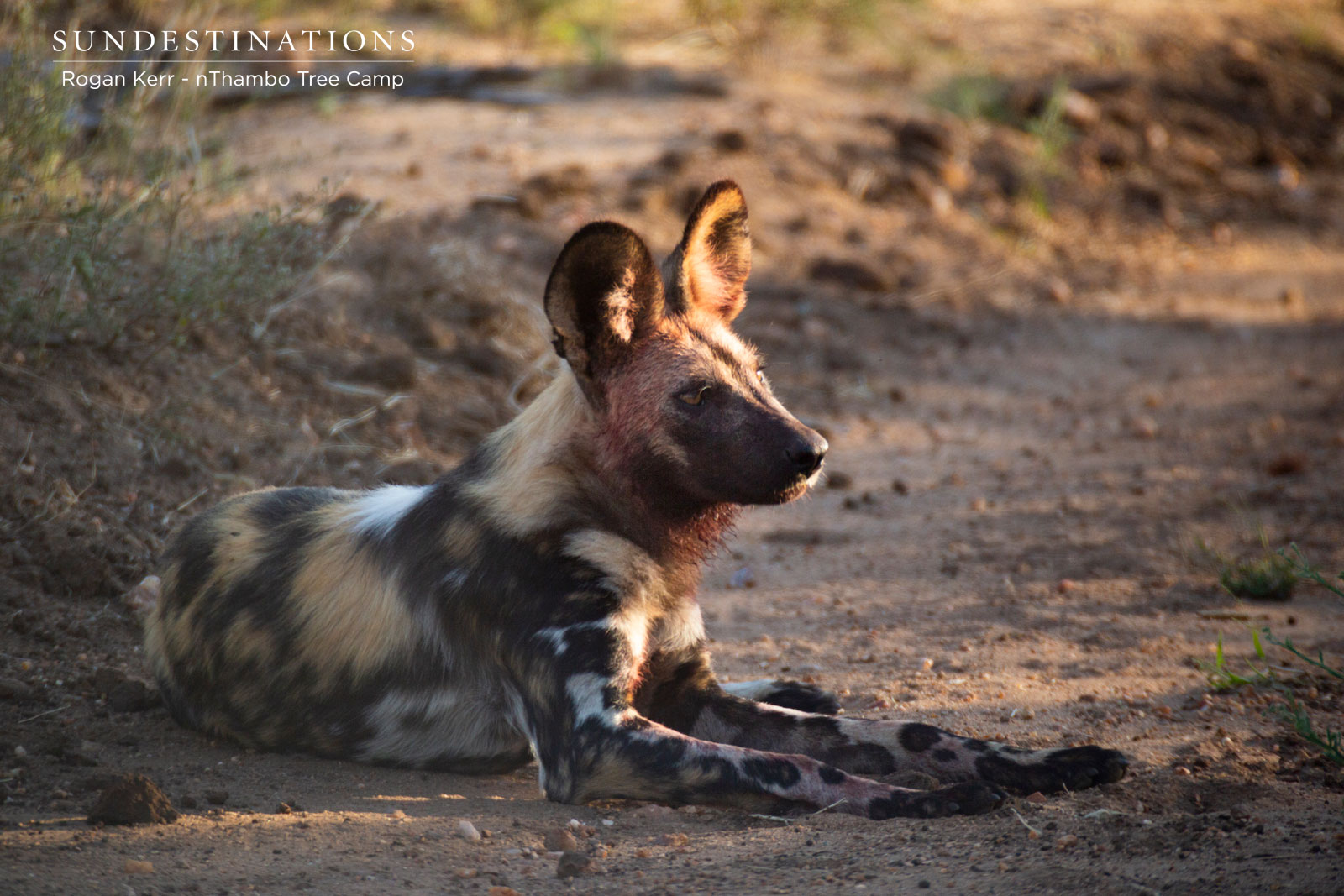 Wild Dogs on Kill in Klaserie